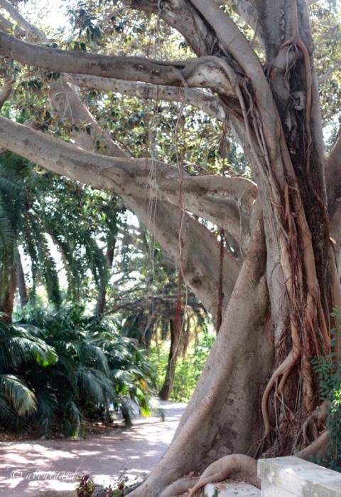 Ficus macrophylla Villa Ormond
