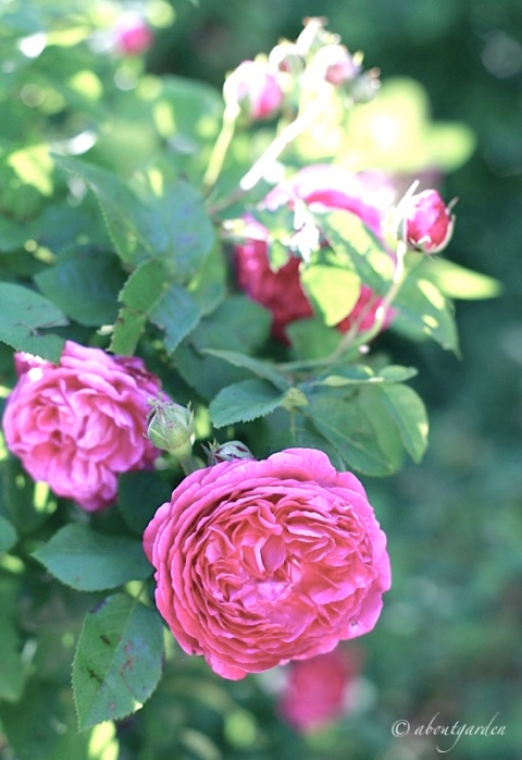 rosa simonetta