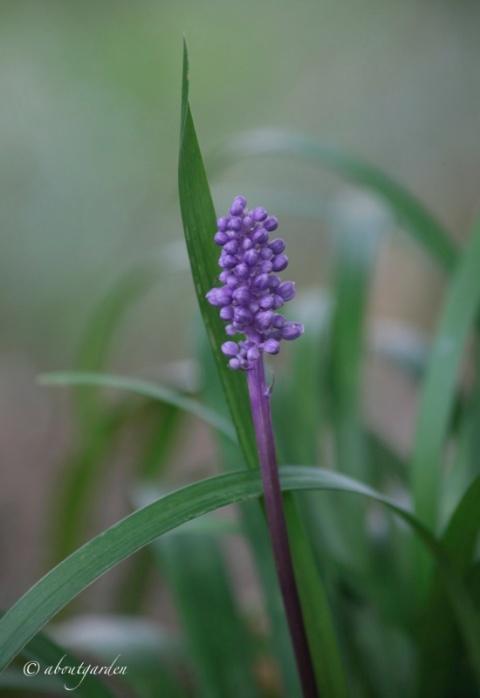 particolare-del-fiore-di-liripoe-muscari