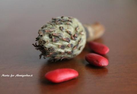 particolare-magnolia-seed