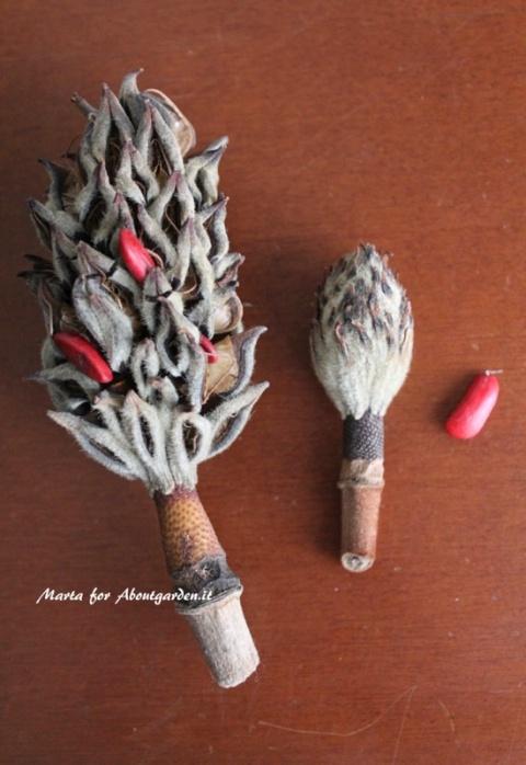 semi-magnolia