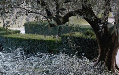 potatura-olivi