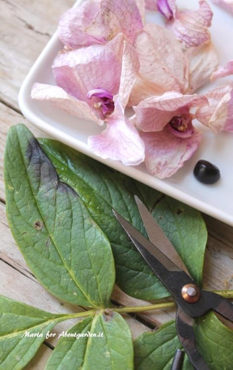 raccolta-petali-pot-pourri