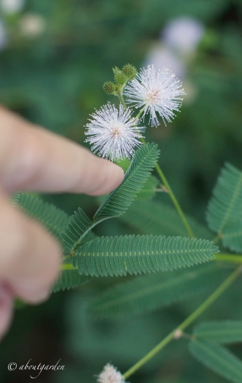 tatto mimosa pudica