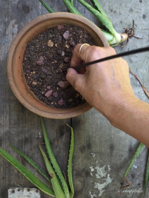 inserire aloe nella terra