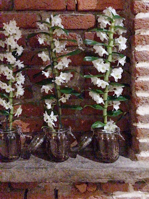 orchidee sottovetro