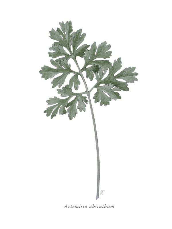 Artemisia foglia acquarello