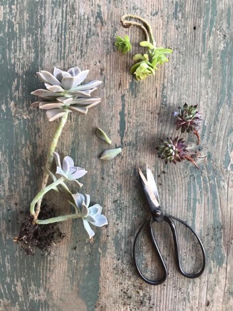 alcune succulente a rosetta