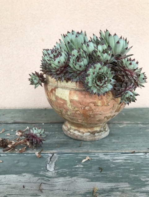 Sempervivum in vaso
