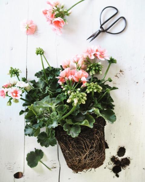 my geranium S. Chiarugi 18